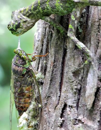 Lizard and Cicada