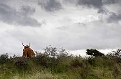 Enjoying the View (nokkie1) Tags: holland grass clouds cow bush dune horns rainy grazing bloemendaal greyishair