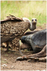 What are you looking at? (HunDina (very busy)) Tags: africa bird nikon kenya wildlife safari vulture masaimara wildbeast d700