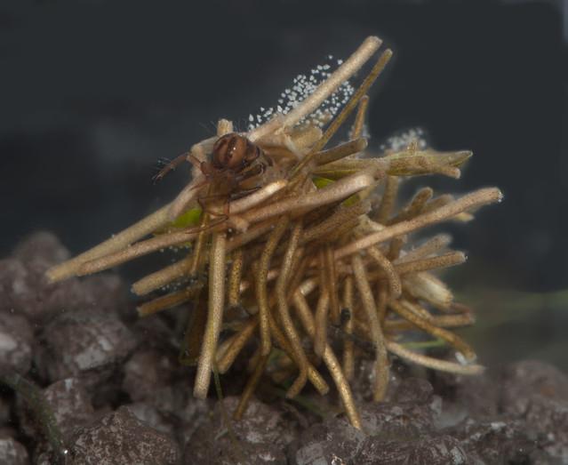Caddisfly larva Limnephilus sp. pos rhombicus 5 edited