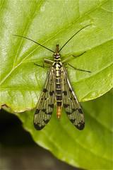 scorpion fly (stuartreading) Tags: england bristol flies saltford scorpionfly panorpacognata