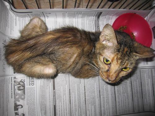 Как в домашних условиях лечить панкреатит у кошки