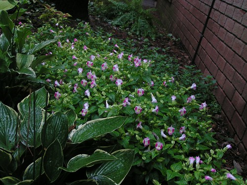 Torenia and Hostas