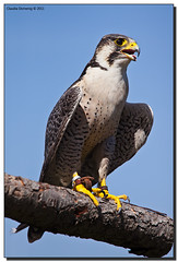 Out Of Breath (Fraggle Red) Tags: zoo austria sterreich posing falcon perched tierpark steiermark birdofprey styria peregrinefalcon falcoperegrinus elfenberg mautern canonef14xtc birdofpreyshow canonef70200mmf4lisusm avianexcellence greifvogelflugschau adobelightroom3 tierparkmautern abenteuerweltmautern