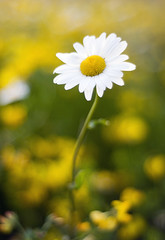 if we are there to live it (manyfires) Tags: flower macro green field yellow closeup golden washington bokeh daisy pacificnorthwest wildflower mtsthelens ascend floralscape maybedaisiesasaflowerareoverphotographed buttheycanthelpit
