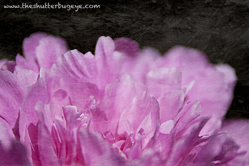 Pink Peonyscape by The Shutterbug Eye™
