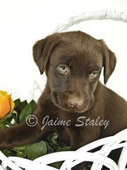 Lab Puppy (Jaime401) Tags: dog pet baby pets brown white flower cute animal yellow closeup puppy photography lab basket calendar sweet fluffy canine greeneyes whitebackground card copyspace domesticanimals affectionate picnik flowerhead facialexpression oneanimal younganimal colorimage alertness purebreddog