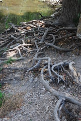 Root System (Dummaniosa) Tags: summer tree texas system root roundrock