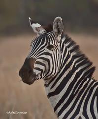 africa tanzania birdbath kenya stripes finch zebra serengeti redcheekedcordonbleu africanbird kirawira uraeginthusbengalus africanequid