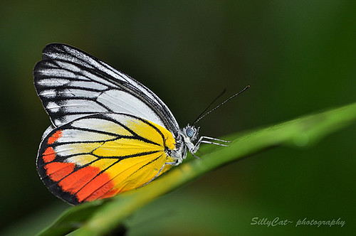 Painted Jezebel (Delias hyparete metarete)