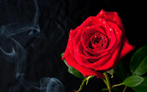 フリー写真素材, 花・植物, 薔薇・バラ, 赤色の花,