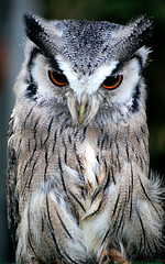 DSC_0081 - White-faced Skops Owl (SWJuk) Tags: park uk autumn england home nikon lancashire owl burnley 2011 scopsowl d40 towneley towneleypark nikond40 woodlandfestival myfreecopyright swjuk sep2011