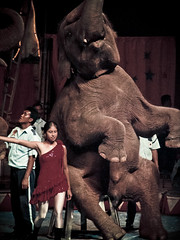Elephant stone #4 (portable_soul) Tags: show wild elephant classic animal big crowd performance large tent trained sumatranelephant orientalcircusindonesia