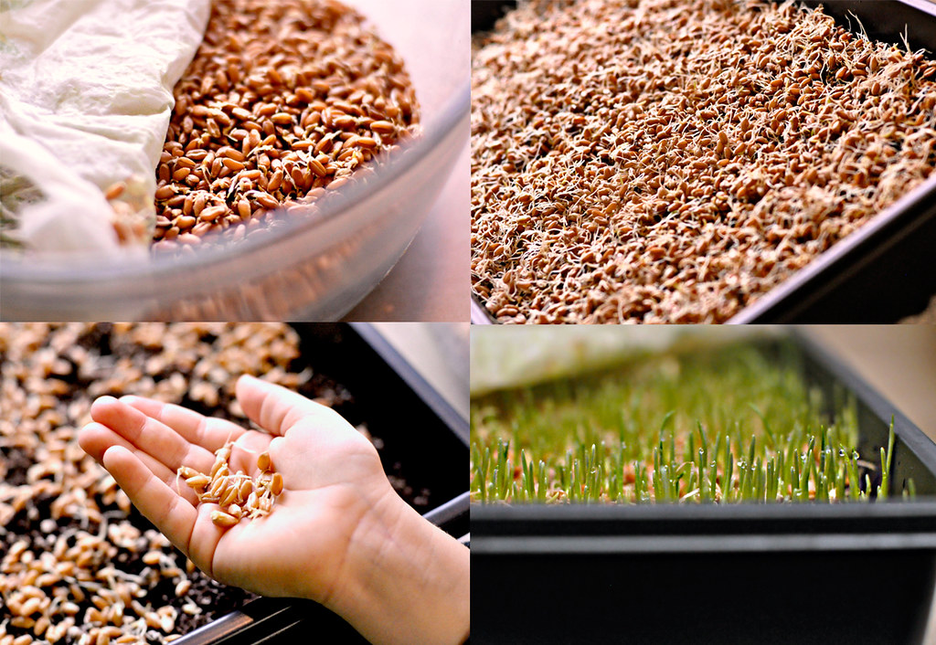 Wheatgrass Growth Process in the know mom