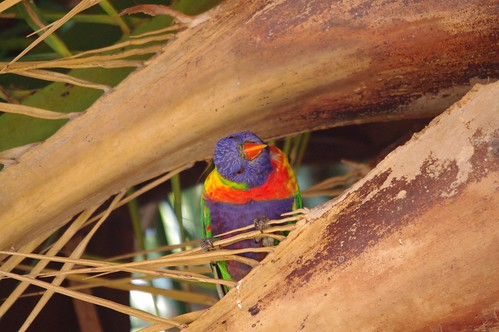 Rainbow Lorikeet in Palm Tree - Leichhardt Sydney
