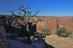 Rooted (dbushue) Tags: morning autumn light arizona tree fall nature landscape dead sandstone scenery shadows desert rocky canyon 2009 rooted canyondechellynationalmonument coth supershot naturesgarden absolutelystunningscapes damniwishidtakenthat dailynaturetnc11