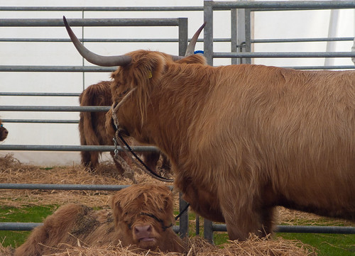 Highland Cattle Show - 05