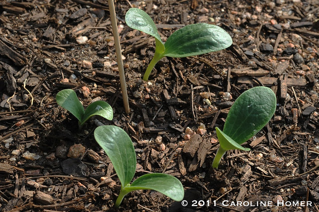 Eight-Ball squash seedlings