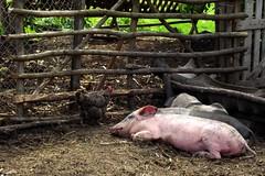 To The Countryside (Marius Poptamas) Tags: nature animals country pigs transylvania hen piglets mures fujifilmfinepixs2950