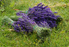 Cropped Lavender (S F KITT) Tags: summer plant flower green nature countryside stem purple lavender bunches summertime