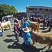 GOPR2271_cattle-in-crowd