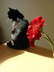 Beauties (indigo_jones) Tags: light shadow red pet cats sun holland nature netherlands beauty sunshine fauna blackcat flora kat utrecht supermodel nederland luna mooi rood chiaroscuro bloem project365 project3652011