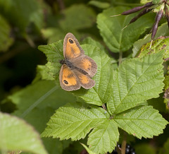 Gatekeeper           (Pyronia tithonus) (Crotach) Tags: ireland macro insect insects lepidoptera wexford gatekeeper theraven cowexford pyroniatithonus hedgebrown sigma180macro sigma180 curracloe irishbutterflies sigma180mm35dexapomacro theravennaturereserve