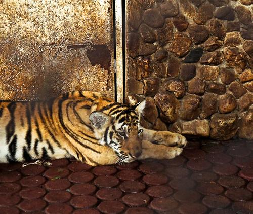 Crocodile Farm :: Tiger