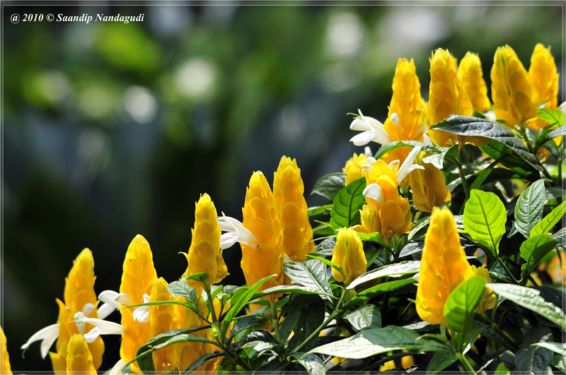 Yellow-flower-nandi