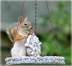 """Yo-Ho-Ho, I'm captain of this feeder!"" (Kim's Pics :)) Tags: red animal comfortable squirrel feeder lilred cutecritter eatingasalways sundecoration backyardtenant standingandsittingroom"