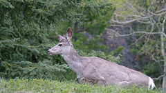 Wild Mule Deer (biancamagalhaes) Tags: life wild canada animal banff
