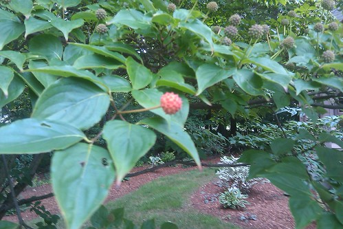 Dogwood fruit ripening