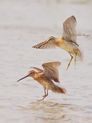 Bécassin roux / Short-billed dowitcher (mitch099) Tags: summer bird nature beauty quebec beauté été oiseau micheleamyot mitch099