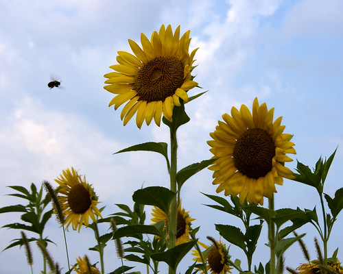 07222011JGW-BannerMarshNorthEastAccess-Sunflowers-Bee_MG_1244