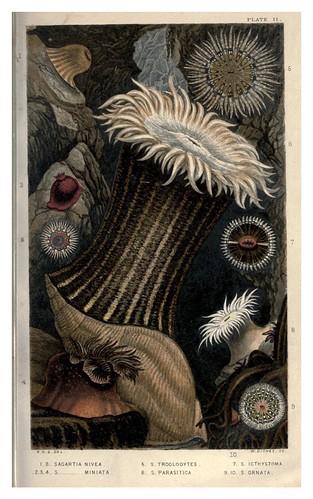 004-Actinologia Britannica… 1860- Philip Henry Gosse