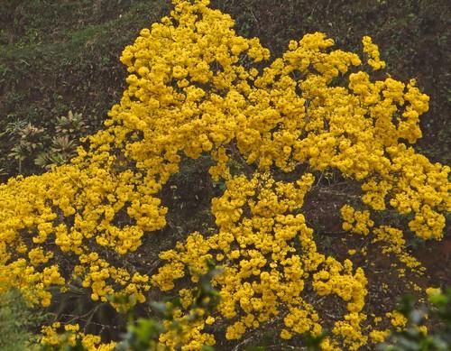 Ipê florido, em frente à casa