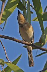 AU11_60d_03781a (jerryoldenettel) Tags: bird au australia flycatcher passeriformes 2011 passerine myiagra monarchidae myiagrarubecula leadenflycatcher