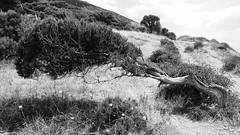 Against the wind (k_k_m_l) Tags: blackandwhite tree nature wind blacksea utrish