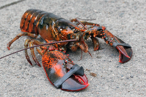 Lobsters How Long Can The Live Out Of Water 85