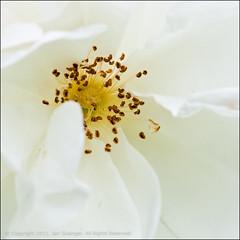 Pure (*ian*) Tags: white flower macro nature rose closeup square flora dof petal stamen favourite anther bigemrg bigstock