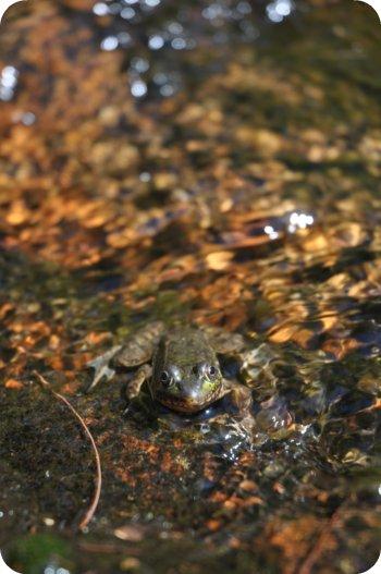 Camo frog