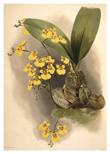 018-Oncidium Ampliatum Majus-Reichenbachia-Orchids illustrated and described..VolI I-1888-F.Sander