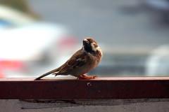 i'm wondering..... (chai_shun_lai) Tags: west bird indonesia sparrow borneo perch pontianak barat burung kalimantan pipit fz28