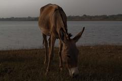 Donkey Feeding, Selingue, Mali (Geraint Rowland Photography) Tags: africa travel dog water canon 50mm wildlife 14 donkey mali selingue malitravelphotography
