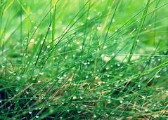 Rainy Grass (Mmolnes) Tags: water grass rain photo droplets walk drop straws