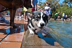 Fountain o' corgis