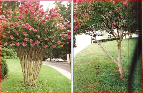 TREE FORM SHRUB FORM COMPARISON