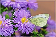 butterfly on autumn aster (spiritofredhorse) Tags: magicofaworldinmacro themacrogroup thebestmacrophotos macromagister