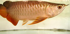 red tail golden arowana (byongify) Tags: red golden tail rtg arowana arwana