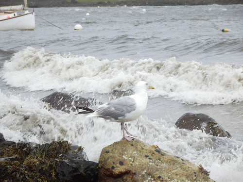 Seagull getting soaked from the rough water